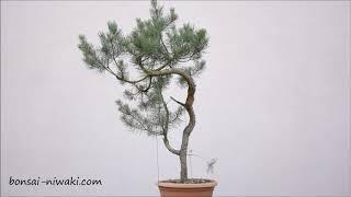 Sosna pospolita .6 (Pinus sylvestris)