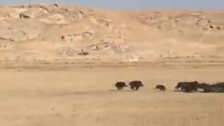 Огромное стадо кабанов бежит вдоль дороги