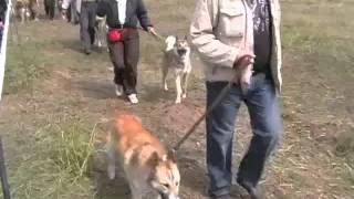 Тверь 2007.  Всероссийская выстовка охот.собак. Средния возростная група зсл,кобели.