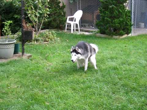 Siberian Husky with hip dysplasia diagnosis (2 years old)
