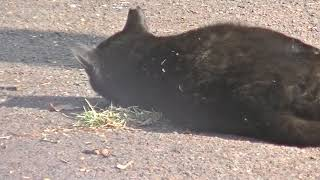 クロがどこからともなくやってきて・・「野良猫日常」 thumbnail