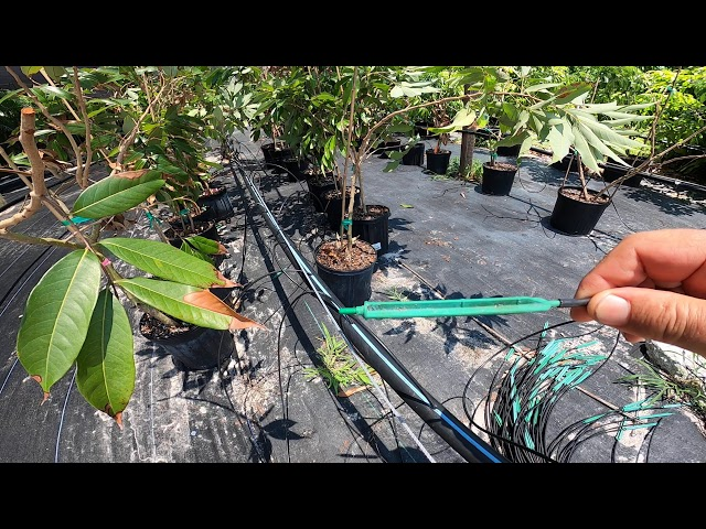 Lychee Tree Nursery 2020