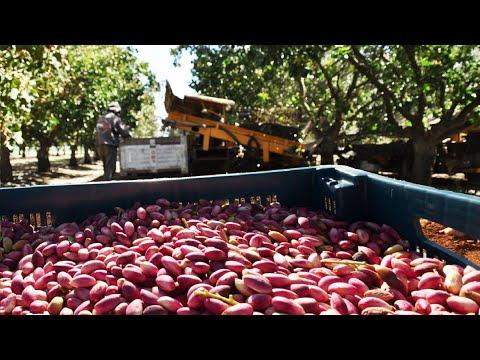 Smile Nuts Pistachio Cultivation - Pistachio harvest machine - Pistachio Processing Factory