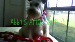 Abby The Miniature Schnauzer's Haircut! (before And After)