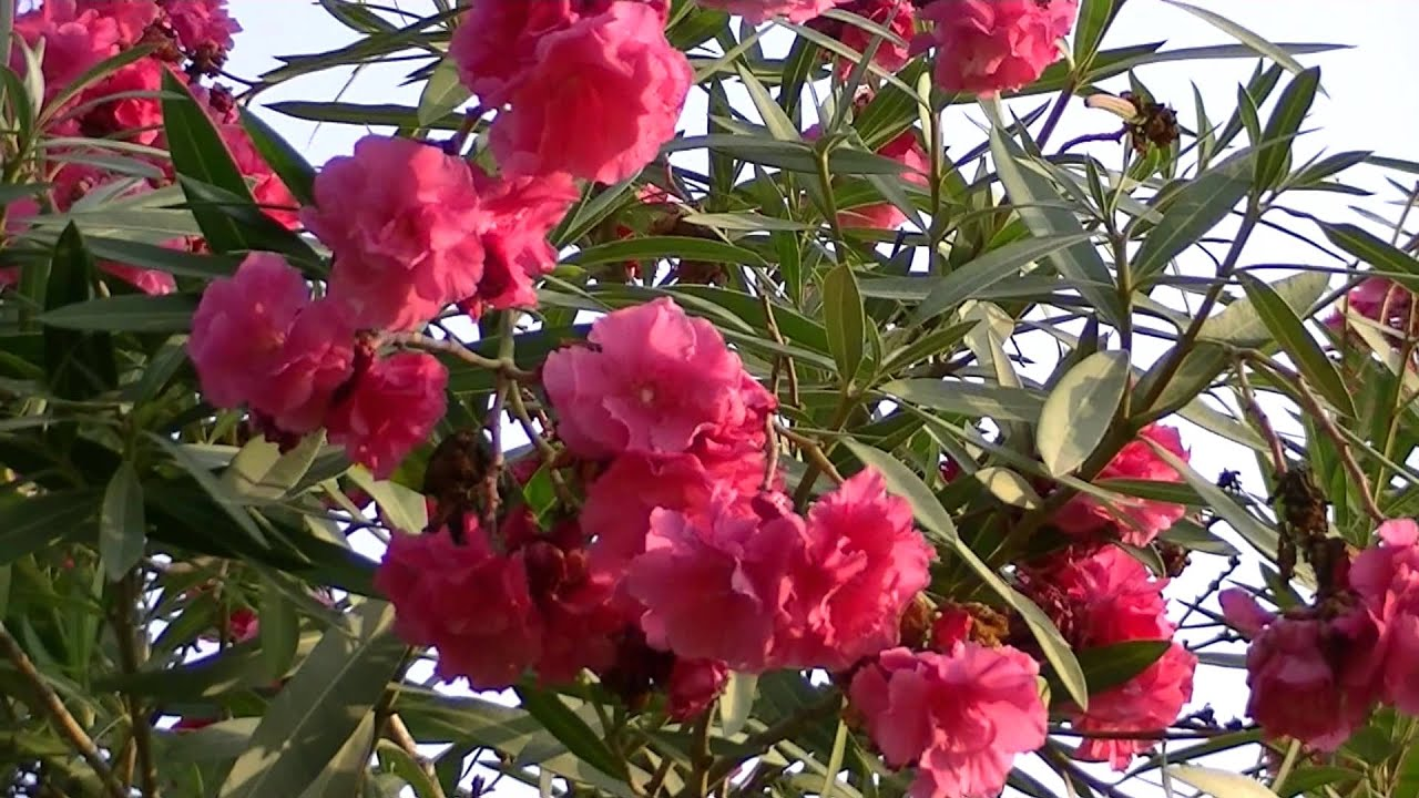 Adelfa nerium oleander youtube for Laurel de jardin