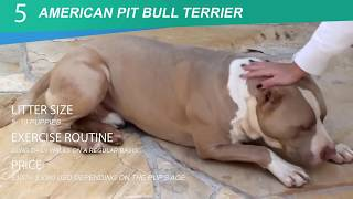 5 Types of Pit Bull Breeds That is Popular Today