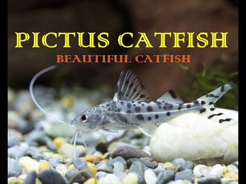 Pictus CatFish | A Non Aggressive CatFish