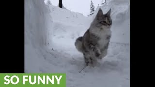 Slow motion majestically captures Maine Coons playing in the snow