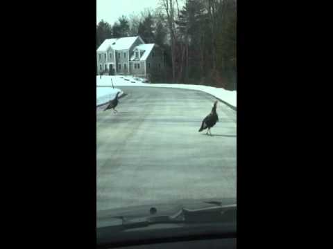 Turkeys in Greenland NH