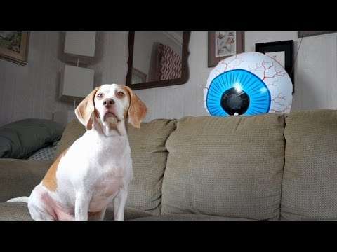 Dog Spooked by Giant Eyeball: Funny Dog Maymo