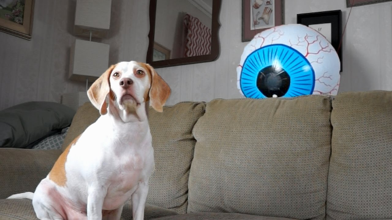 Dog Spooked by Giant Eyeball: Funny Dog Maymo