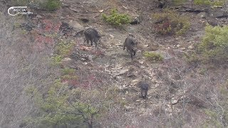 WILD BOAR HUNTING - The immense HERDS