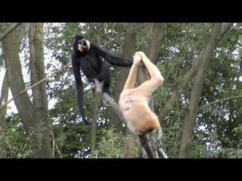 Gibbons singen