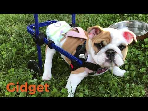 Gidget the French Bull Pup in Walkin' Wheels Wheelchair!