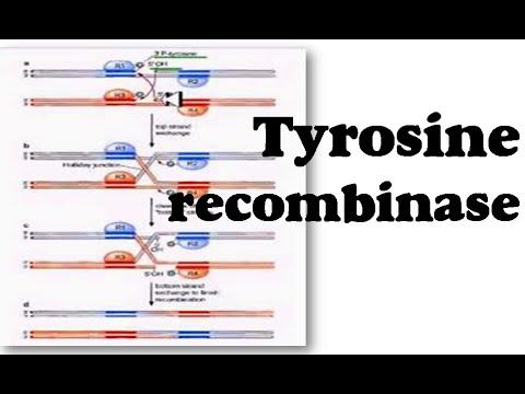 Tyrosine recombinase
