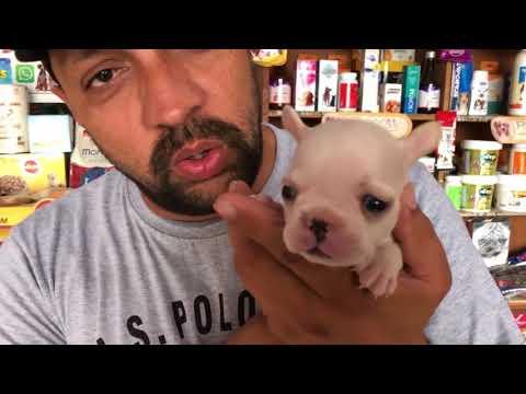 Dog Breed - Know About French Bulldog - Bhola Shola