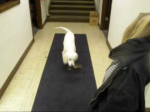 service-dog-windsor-training-to-retrieve.wmv