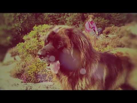 Leonberger Antics episode 110