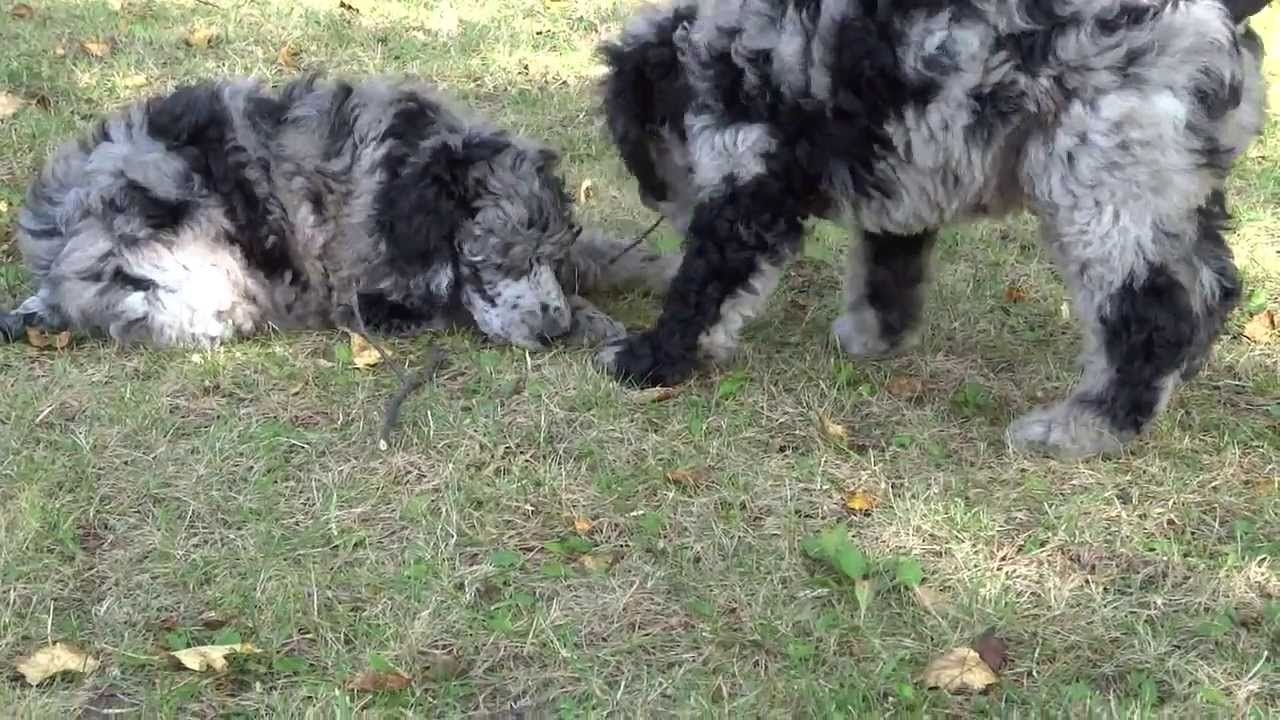 AKC Blue Merle Standard Poodle Pups - YouTube
