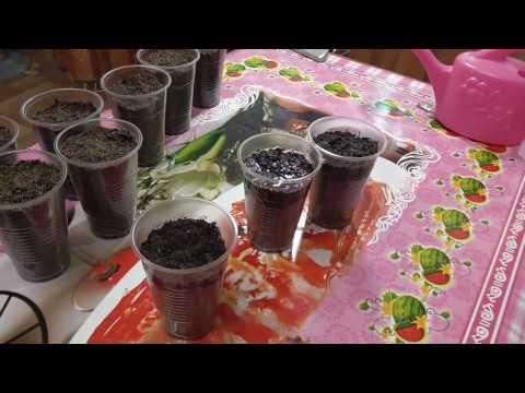 Выращивание бонсай из семян   /Альбиция и Сакура