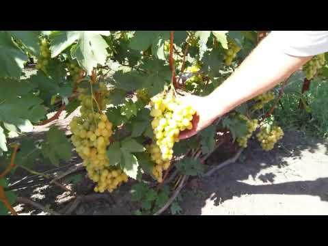 Десятка лучших сортов винограда для начинающих
