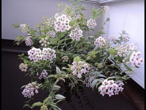 Вопрос: Почему у меня всегда вянут комнатные цветы?