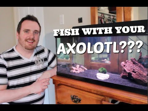 CAN YOU KEEP FISH WITH YOUR AXOLOTL?