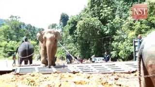 Kelantan wildlife releases elephant into the wild