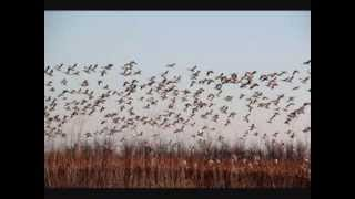Sacramento Valley Waterfowl 12 15 13