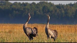 Журавли. Осенние крики. Common crane. Autumn songs.