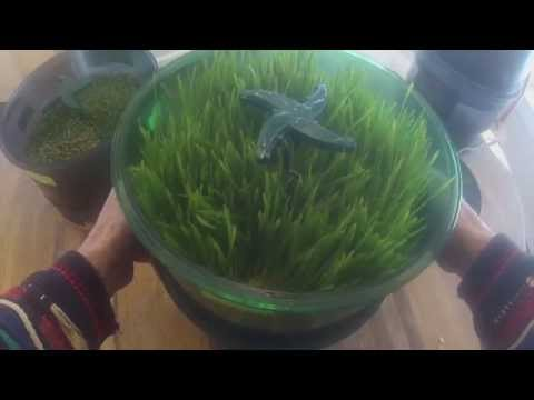 Growing Wheatgrass In The Freshlife 3000 Automatic Sprouter