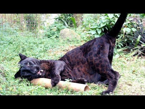 Thumbnail for Cat Video Top 12 Silliest Big Cats
