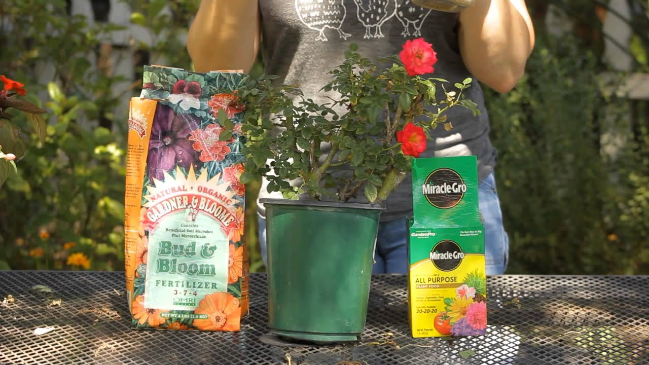 How To Best Fertilize Roses : Garden Space   YouTube