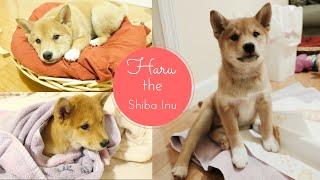 Meet Our New Puppy, Haru the Shiba Inu! [Vlog #36]
