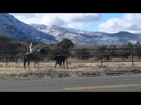 Young cow playing with horse in Williamson Valley