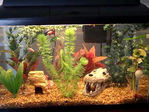 how to prepare your fishtank for a fighting fish