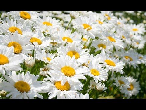 Ромашка аптечная (лекарственная трава) - полезные свойства