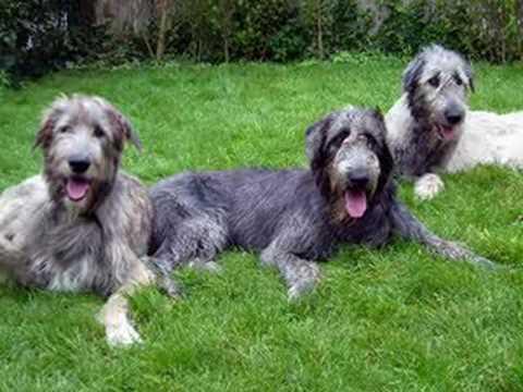 Red irish wolfhound puppies - photo#21