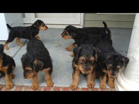 Back Porch Featuring Mr. Yellow AKC Purebred Airedale Terrier Puppies For Sale On January 19, 2019