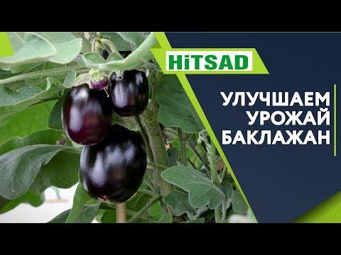 Вопрос: Как повысить урожайность баклажан?