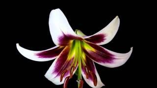 Распускающиеся цветы в замедленной съемке online video cutter com 1(, 2016-02-20T20:00:30.000Z)