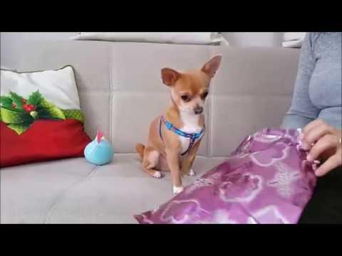Köpeğimiz Badi Küçük Gelen Kıyafetini Arkadaşı Bitter'e Gönderdi (Dog Chihuahua Buddy Şivava)