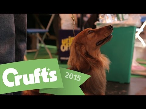 Best of Breed - Dachshund (Long-Haired) and winner's interview | Crufts 2015
