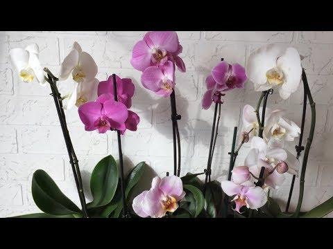 Завоз орхидей уценок С БЕСПЛАТНОЙ ПЕРЕДЕРЖКОЙ 20.02.19 Каттлеи и фаленопсисы
