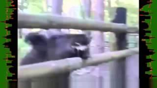 Охота  Дикие животные  Приколы с дикими кабанами
