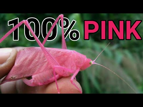 Incredibly Rare Pink Katydid Is Spotted in the Wild