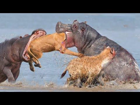 Бегемот в Деле! Бегемот Против Льва, Крокодила, Буйвола и Даже Слона!