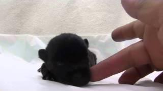 かわいいスコッチテリアの子犬が誕生しました! ブリーダー直販にて、健...