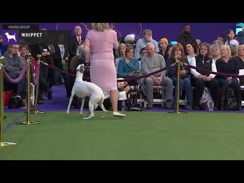 Whippets | Breed Judging 2020