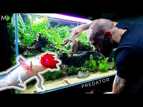 ⚠️AMBUSH PREDATOR⚠️ FEEDING & Changes: 4ft Axolotl Aqua Terrarium / Paludarium / Planted Tank